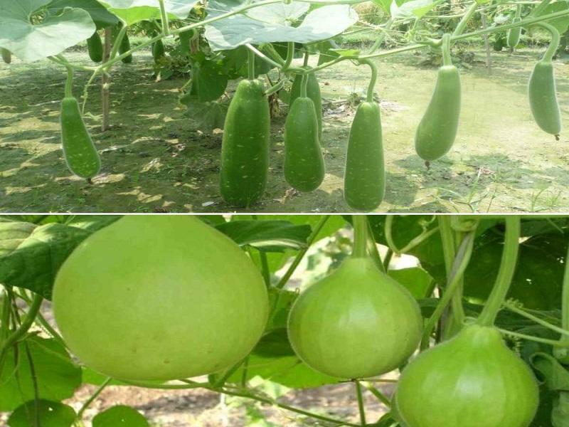Bottle Gourd Farming in terrace