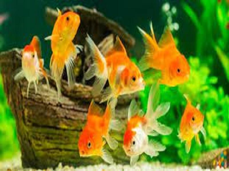 Aquarium fish farming (image credit- Google)