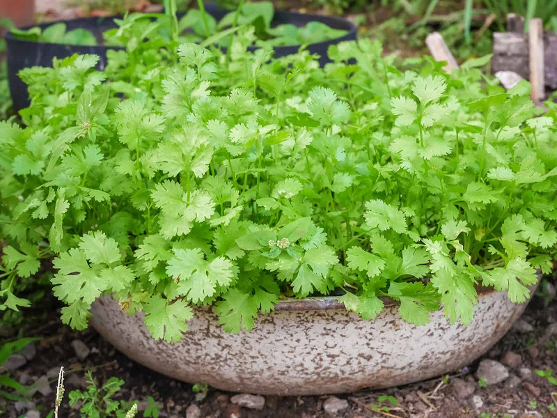 Coriander Leaves Farming in Home