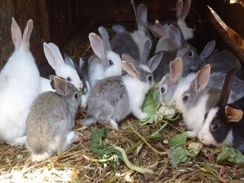 Rabbits (image credit- Google)
