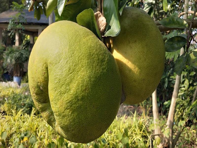 Batabai Lemon Farming