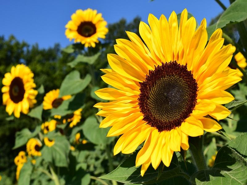 Sunflower tree (image credit- Google)