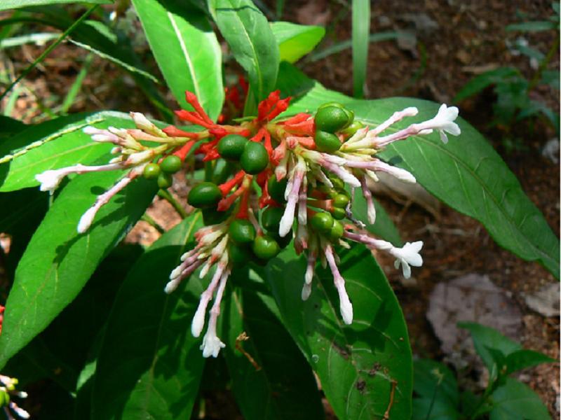 Serpentine tree (Image Credit - Google)