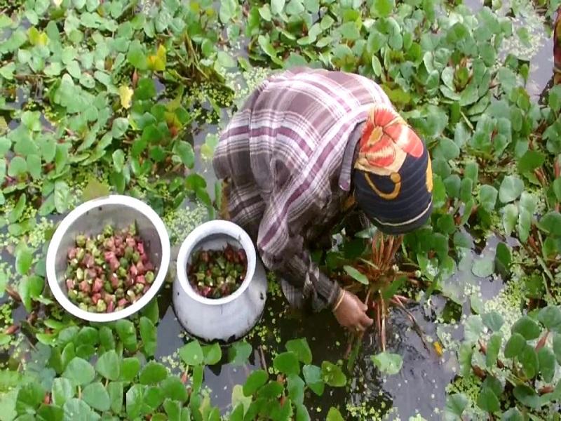 Water Chestnut Farming Process