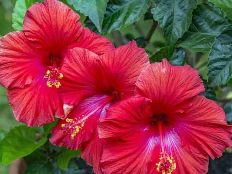 Hibiscus Flower farming