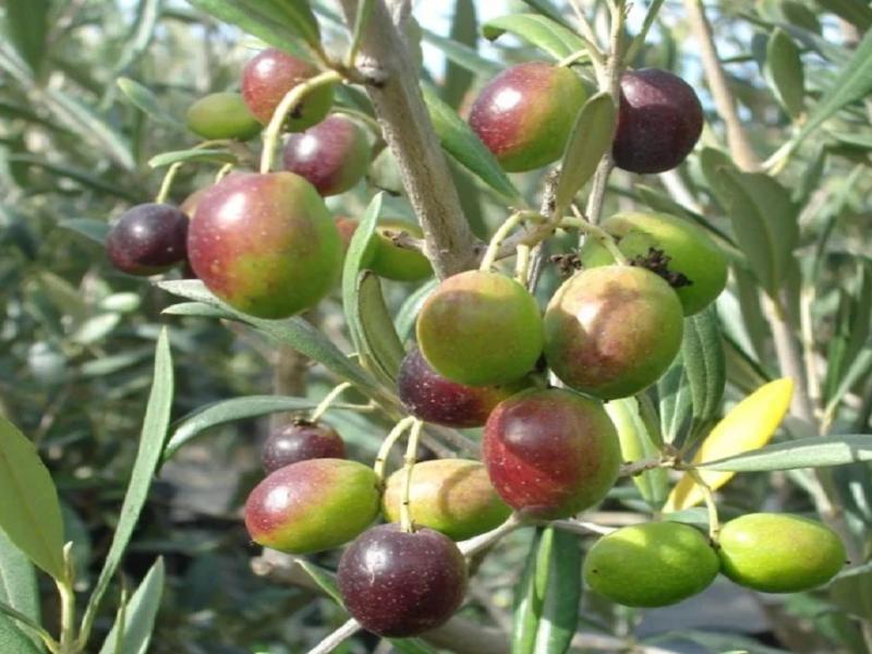 Olive tree (Image Credit - Google)