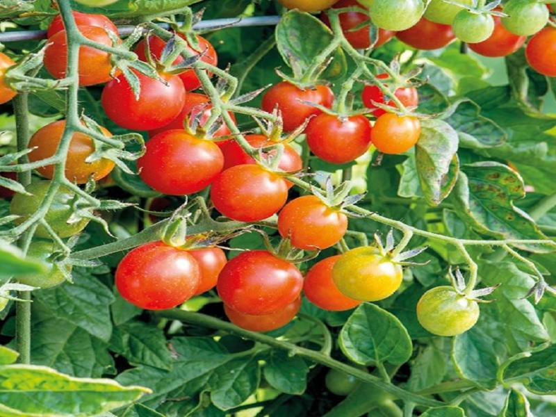 Tomato tree (Image Credit - Google)