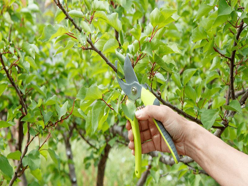 Pruning (image credit- Google)