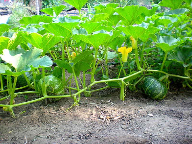 Pumpkin crop (Image Credit - Google)