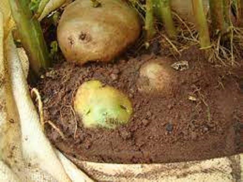 Potato (image credit- Google)