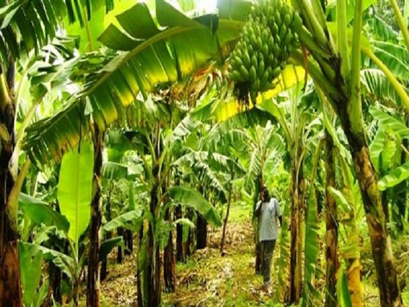 Banana tree (image credit- Google)
