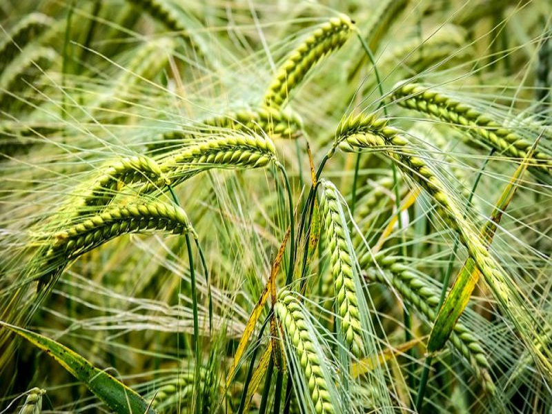 Wheat tree (image credit- Google)