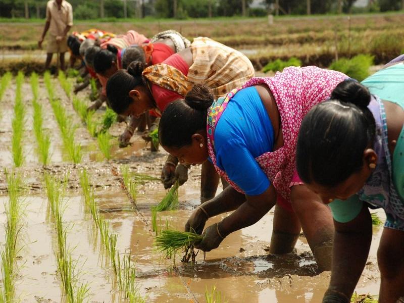 Rice transplantation (image credit- Google)