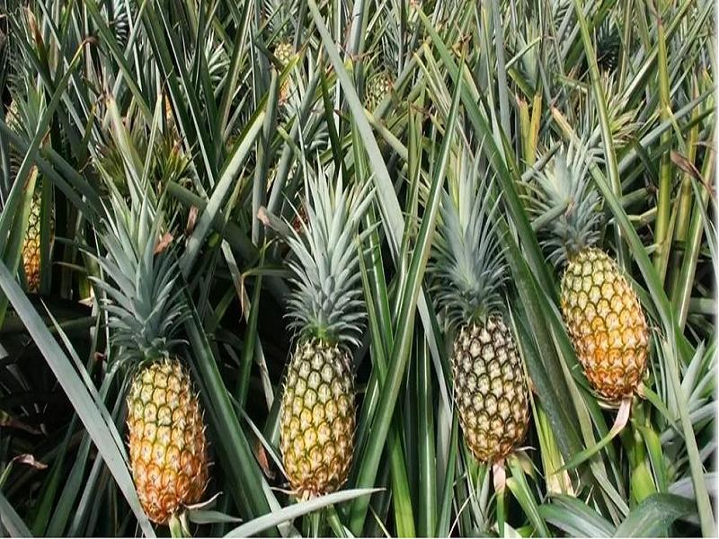 Pineapple tree (Image Credit - Google)