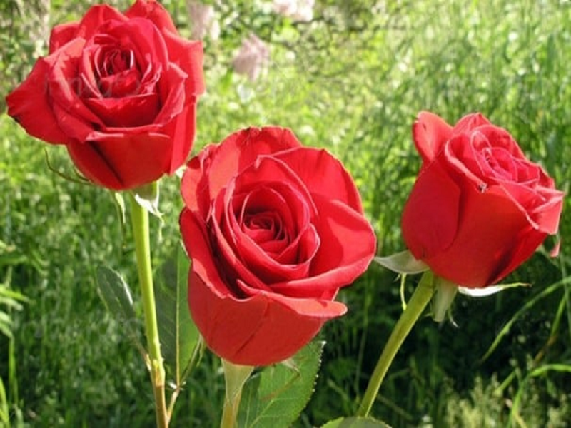 Rose Tree (Image Credit - Google)