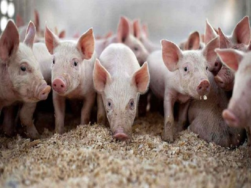 Piggery farming (image credit- Google)