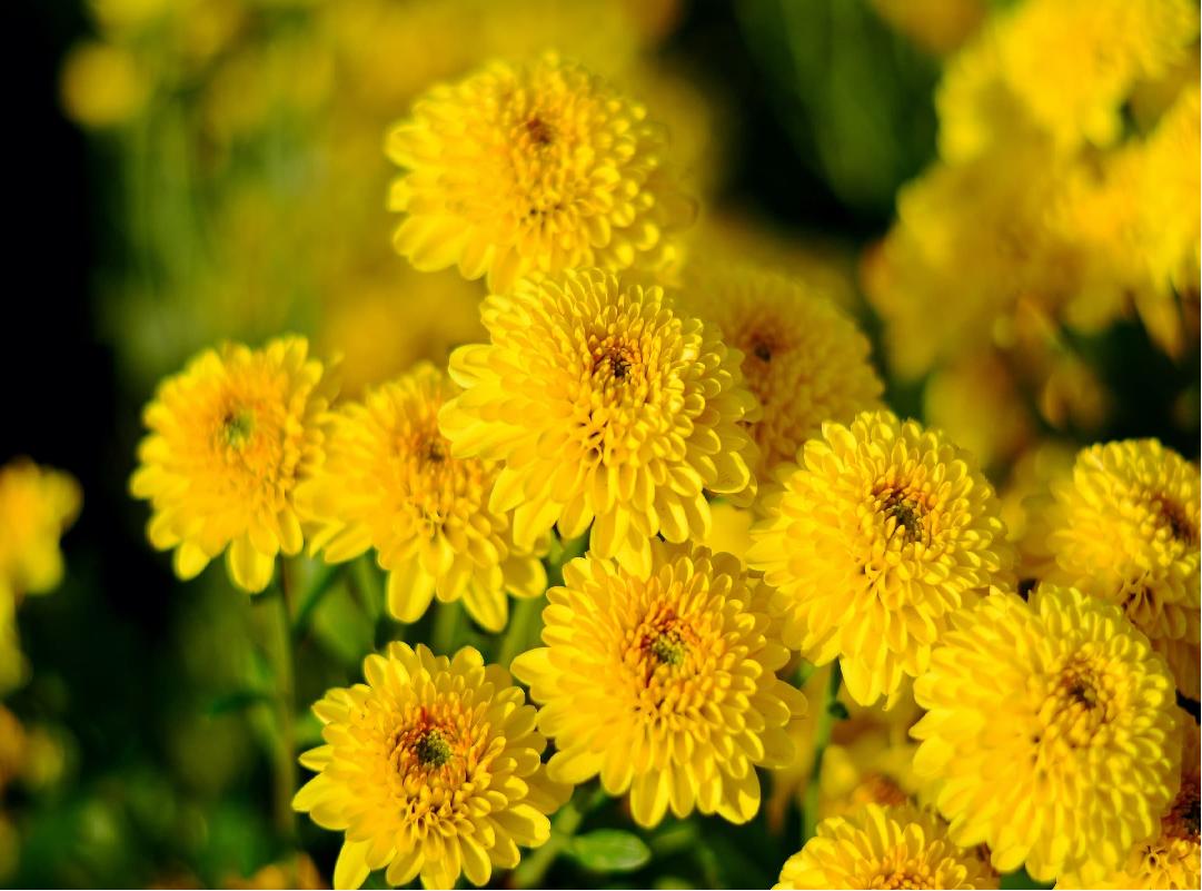 Chrysanthemum flower (Image Credit - Google)