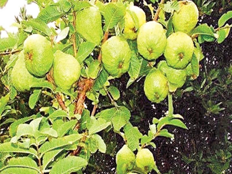 Guava tree (image credit- Google)