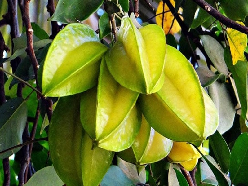 Star fruit tree (image credit- Google)