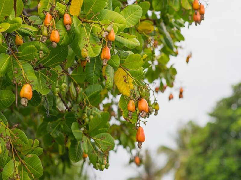 Cashew tree (image credit- Google)