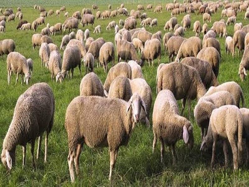 Sheep farming (image credit- Google)