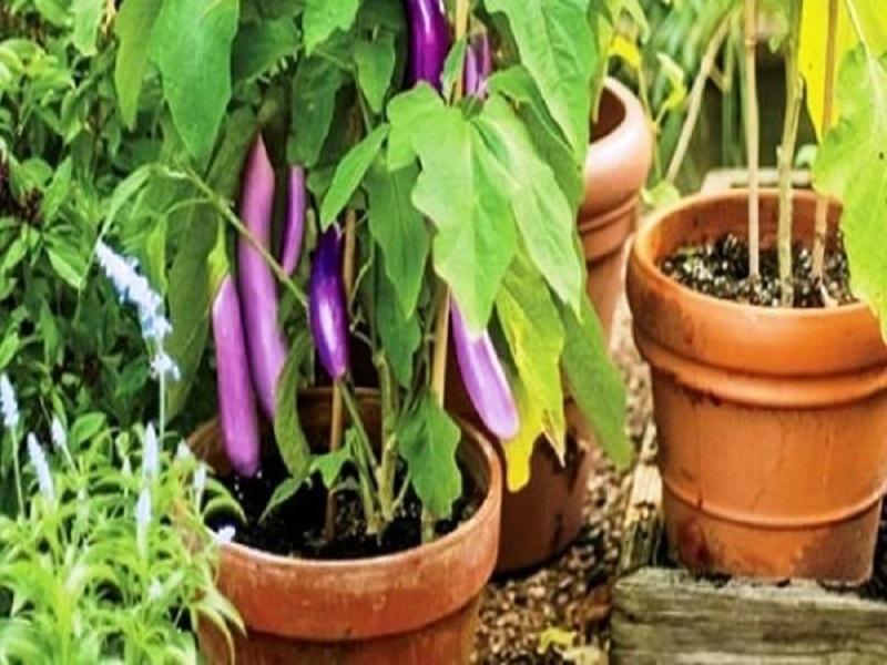 Vegetables farming on terrace (image credit- Google)