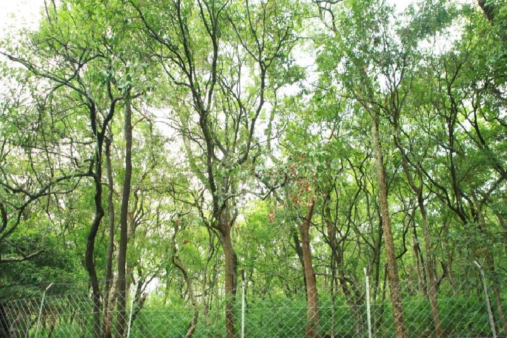Sandal Wood Tree (Image Credit - Google)