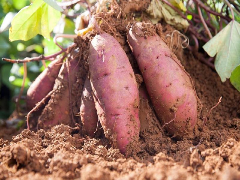 Sweet potato (Image Credit - Google)