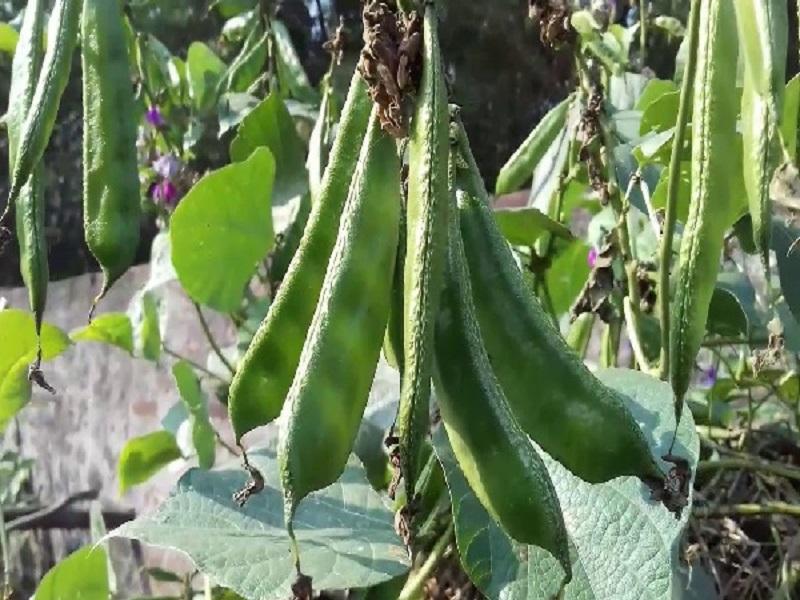 Bean tree (image credit- Google)