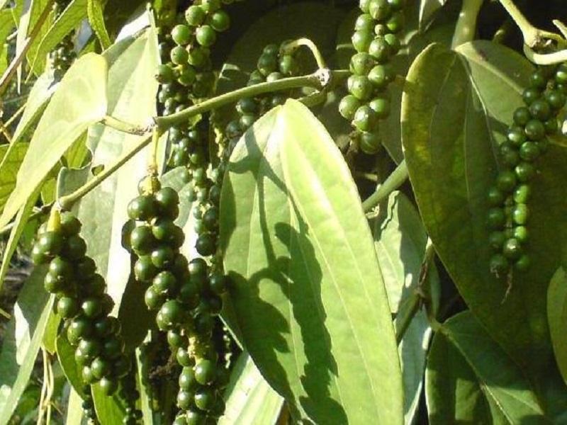 Black peeper tree (image credit- Google)