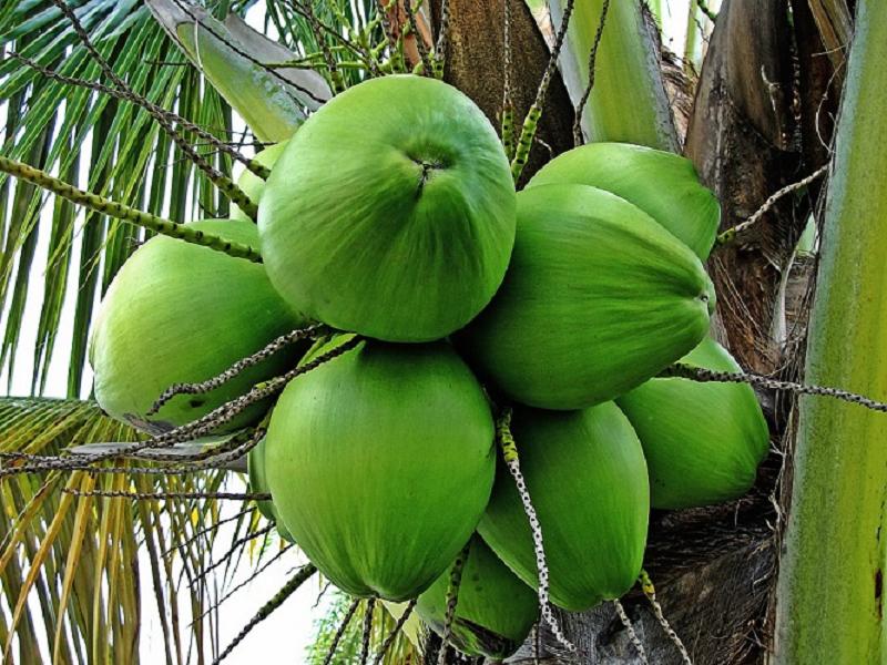 Coconut Tree (Image Credit - Google)