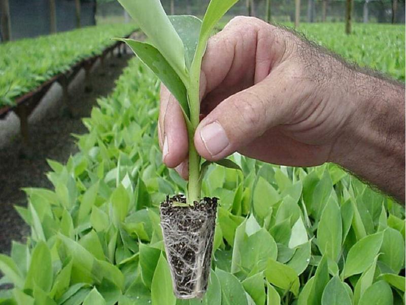 Banana seedling (Image Credit - Google)