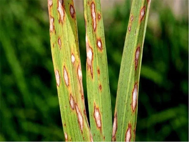 Paddy disease (Image Credit - Google)