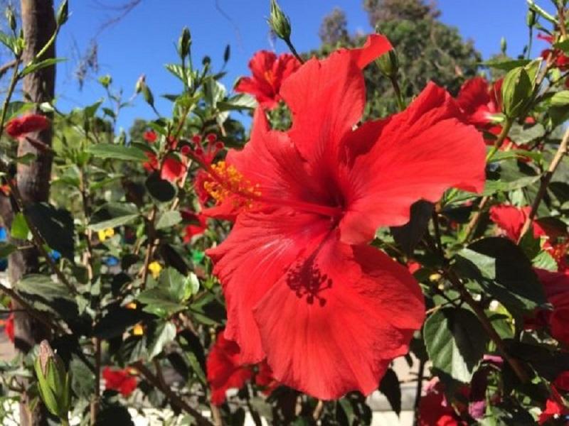 Hibiscus tree (image credit- Google)