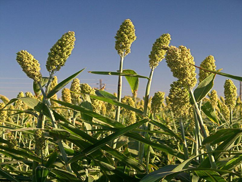 Jowar cultivation (image credit- Google)