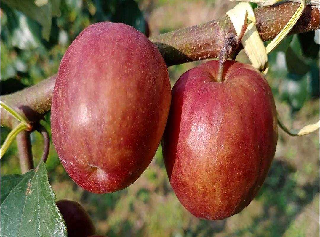 Kashmiri Apple Ber (Image Credit - Google)