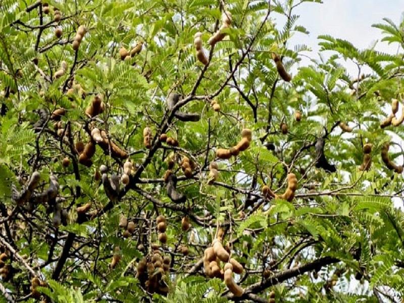Tamarind tree (image credit- Google)