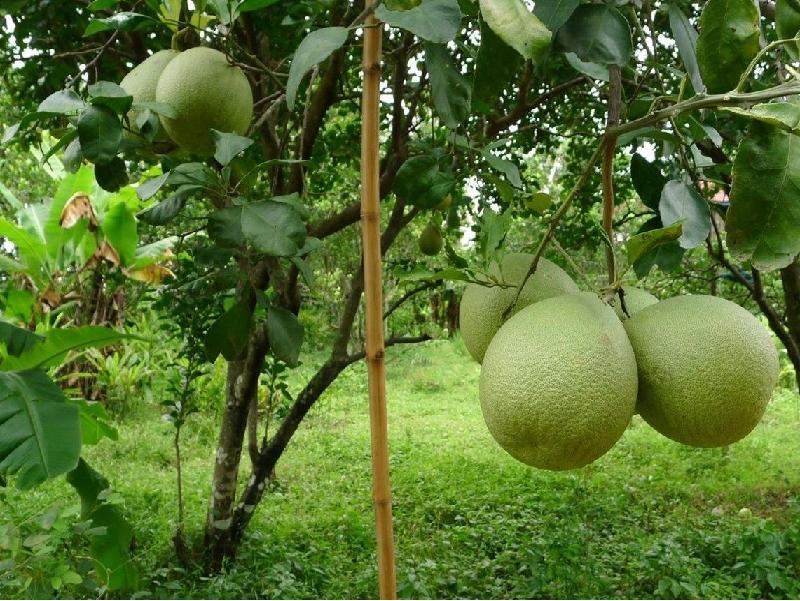 Batabi lemon (Image Credit - Google)