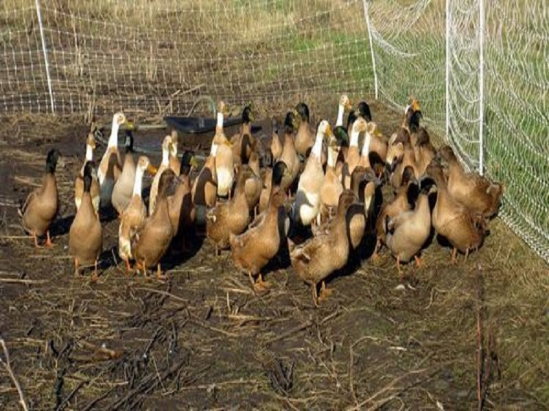 Campbell duck (image credit- Google)