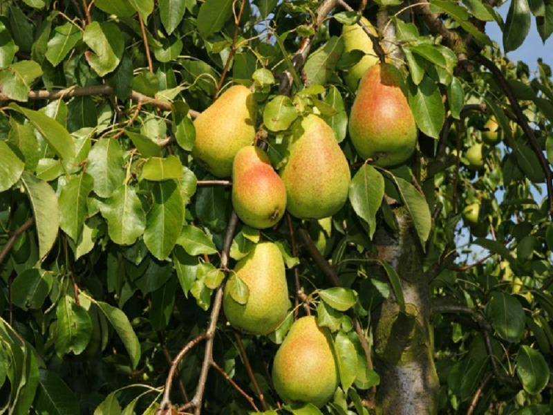 Pear fruit (Image Credit - Google)