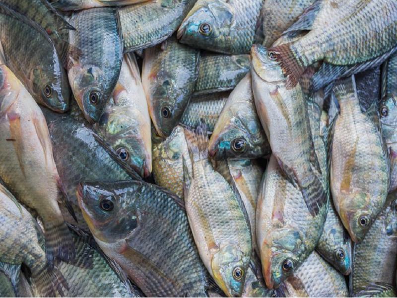Tilapia Fish (Image Credit - Google)