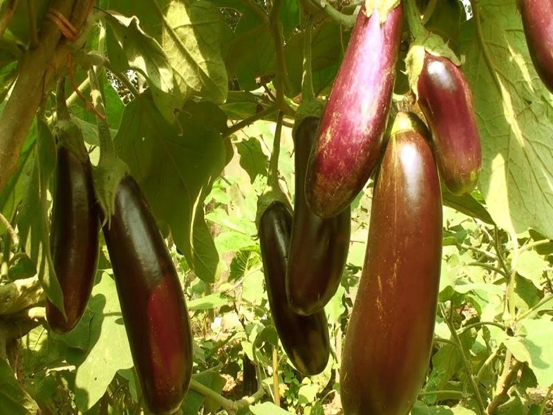 Monsoon brinjal farming (image credit- Google)