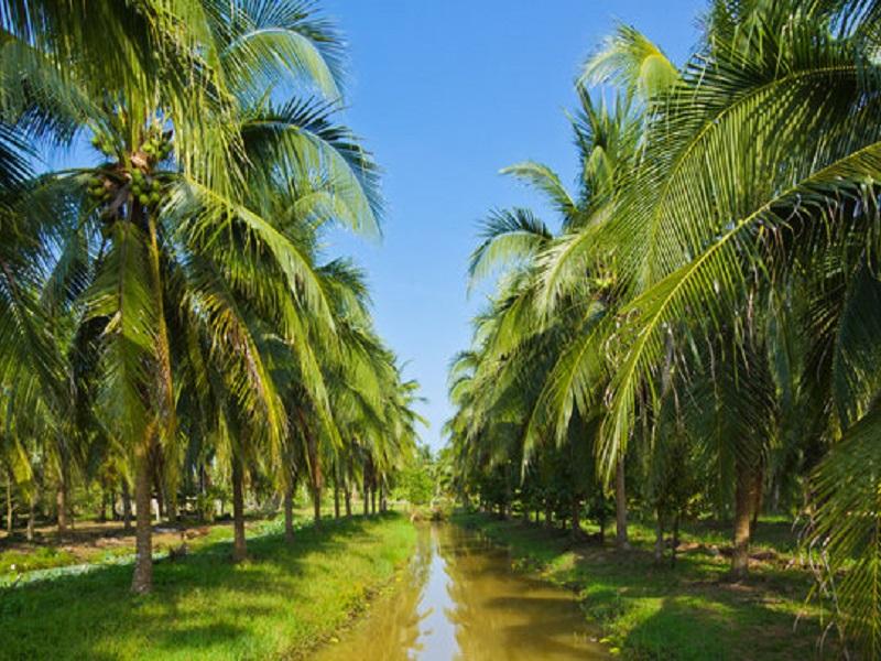 Coconut tree (image credit- Google)