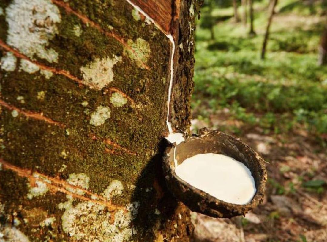 Rubber tree (Image Credit - Google)