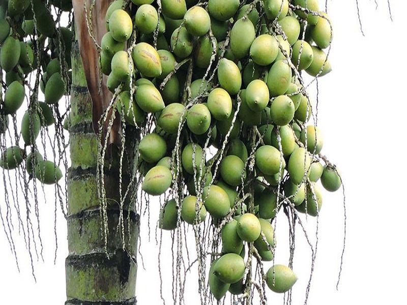 Betel nut tree (image credit- Google)