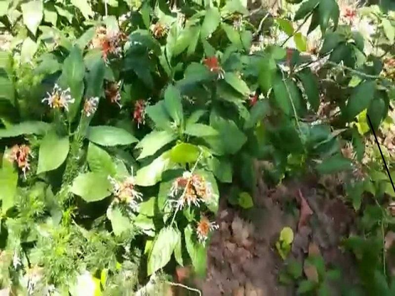 Serpentina plant (image credit- Google)
