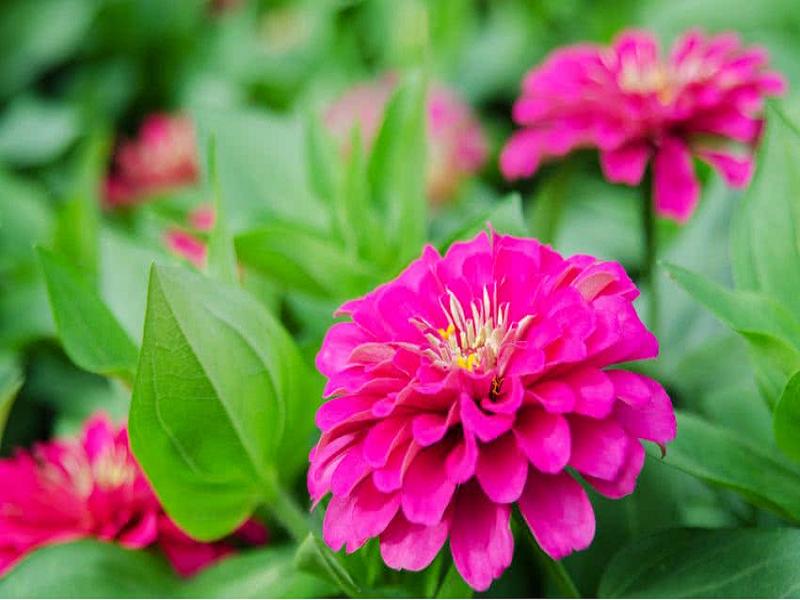 Zinnia Flower (Image Credit - Google)