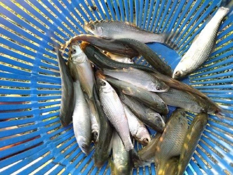 Mrigel fish (image credit- Google)