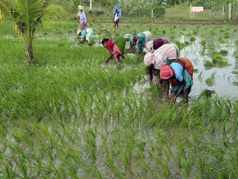 Paddy farming (image credit- Google)