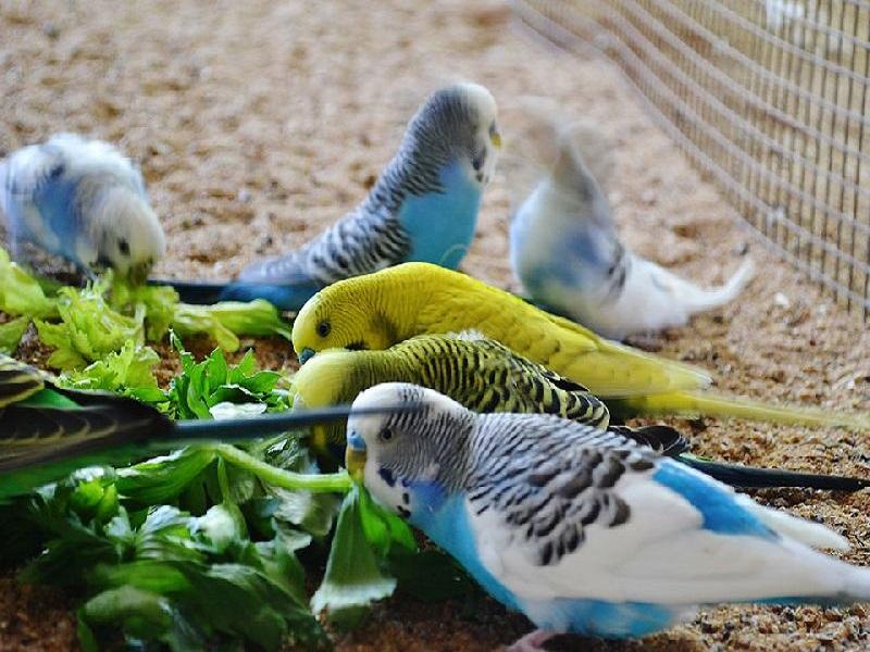 Budgerigar birds (image credit- Google)